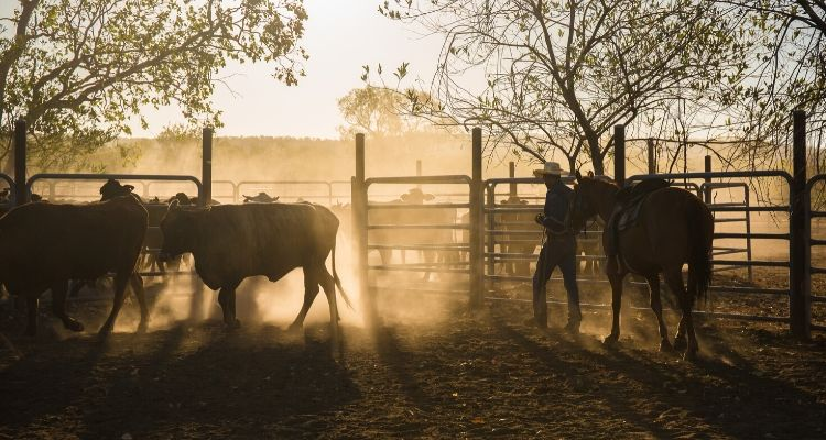 Cowboy in a corral with dust