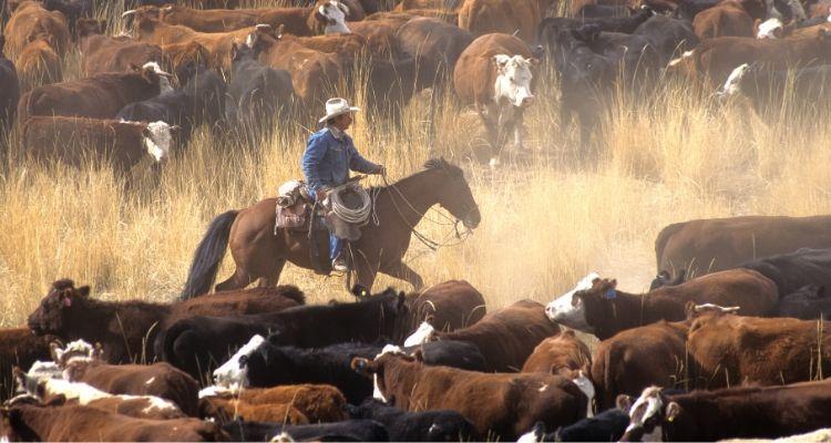 Cowboy rides herd